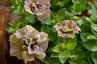 入荷した花苗情報♪ - 花色~あなたの好きなお花屋さんになりたい~
