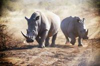 ベトナムでの新たなサイ角の使用目的 - 親愛なる犀たちへ
