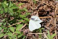 ヤマキチョウの求愛 - 蝶超天国