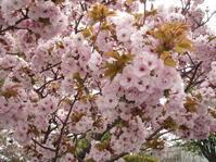名残りの桜 - あいのひとりごと