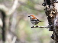 ニュウナイスズメが元気でした - コーヒー党の野鳥と自然 パート2