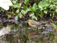 ミズバショウ園のノジコ - コーヒー党の野鳥と自然 パート2
