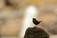 光に浮かぶ ミソサザイ - 野鳥公園