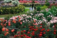 満開の薔薇につつまれて - *花音の調べ*