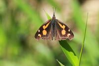 ミドリヒョウモン - 蝶のいる風景blog