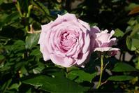 ノヴァーリスが咲きました。 - 春&ナナと庭の薔薇