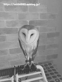 番外編~鳥見遠征~ - メンフクロウと一緒~ミリン~