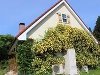 モッコウバラが駆け上がる壁 - HOME SWEET HOME ペコリの庭 *