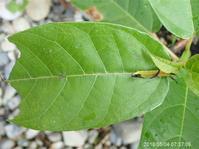 イシガケチョウ生態 - おらんくの自然満喫