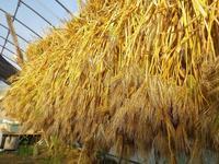 麦収穫・第一弾 - 農と自然のさんぽみち・やまだ農園日記