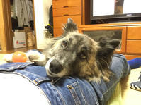 の〜んびり - 琉球犬mix白トゥラーのピカ