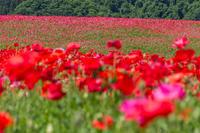 天空に咲くポピー - デジカメ写真集