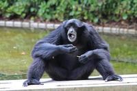 飛び回るフクロテナガザルとフサオマキザルのちびっ子(千葉市動物公園) - 続々・動物園ありマス。
