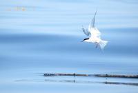 アジサシ - 北の野鳥たち