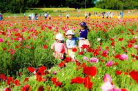 日本一のポピー畑 - くすりやさんの戯言