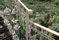 バラ園の階段・迷宮 びっくりトイレ、 Vacunae Rosae - イタリア写真草子 Fotoblog da Perugia