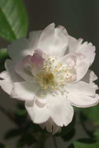 母の日翌日の薔薇の庭(5月14日) - Reon with LR & Roses