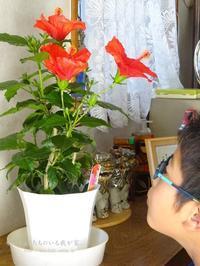 ハイビスカスの花。 - かいじゅうたちのいる我が家。