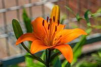 スカシユリが咲きました - あだっちゃんの花鳥風月