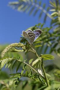 保護地のオオルリシジミ - 蝶超天国