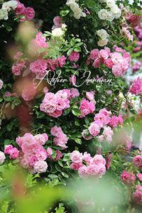 薔薇の歴史がわかる「花菜ガーデン」① - Atelier Charmant のボタニカル・水彩画ライフ