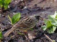 アオジも元気でした - コーヒー党の野鳥と自然 パート2