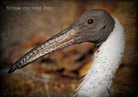ムギワラトキ:Straw-necked Ibis - 動物園の住人たち写真展(はなけもの写眞店)