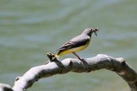 キセキレイの巣立ちっ子 - 今日の鳥さんⅡ