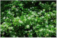 クチナシの白い花 - ハチミツの海を渡る風の音
