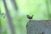 ミソサザイ・・・金剛山 - zorbaの野鳥写真と日記