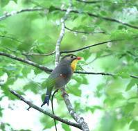 ソウシチョウ、ヤマガラ、ゴジュウガラ・・・金剛山 - zorbaの野鳥写真と日記