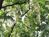 ハクウンボク - オバサンが行く ヒマラヤの青いけしの旅/改め   時々蔵王の花たち