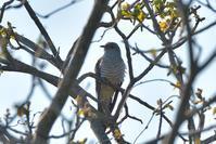 枝の隙間からツツドリ~今週のウトナイ湖~クマの現場も - やぁやぁ。