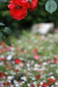 バラがばらばら事件@新宿御苑 - みるはな写真くらぶ