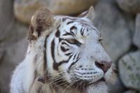 ホワイトタイガー……東武動物公園② - Taro's Photo