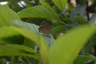 ミドリシジミ 5月23日 - 超蝶