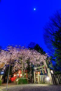 桜咲く京都2018 水火天満宮ライトアップ - 花景色-K.W.C. PhotoBlog