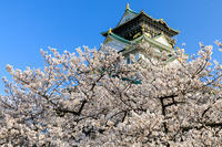 桜咲く大阪城 - 花景色-K.W.C. PhotoBlog