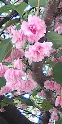 八重桜も見納めです - はあと・ドキドキ・らいふ