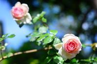今年の薔薇  My Rose Garden 2018 - お茶の時間にしましょうか-キャロ&ローラのちいさなまいにち- Caroline & Laura's tea break