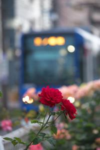 赤薔薇と都電と - Today's one photograph