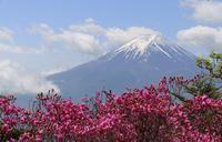 ミツバツツジの咲く頃に歩く三ツ峠山 - ヤッホー!今日はどちらへ?