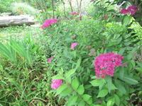 シモツケ - だんご虫の花
