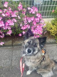 TOKYO 記念日 - 琉球犬mix白トゥラーのピカ