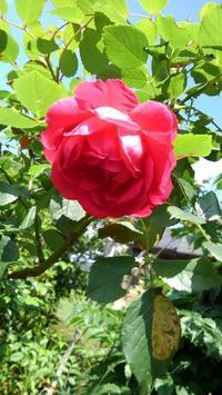 バラの黒星病 - うちの庭の備忘録 green's garden