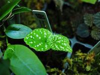 ベゴニア・エリザベサエ? #2 - Blog: Living Tropically