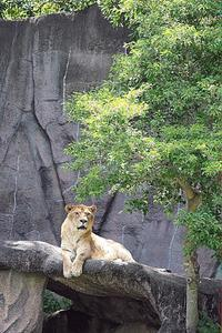 なかよしライオン - 動物園放浪記