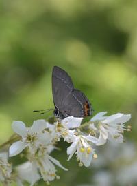 ベニモンカラスシジミ5月24日 - 超蝶