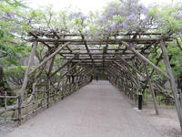 藤のトンネルをくぐってみませんか? - 函館市住宅都市施設公社 スタッフブログ