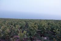 天売島-ウトウの帰巣 - ノラニンジンの咲く庭